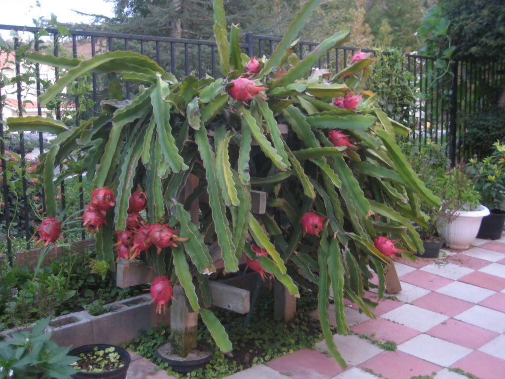 Dragon Fruit Plant On Fence Dragon Fruit Plant Dragon Fruit Fruit Seeds