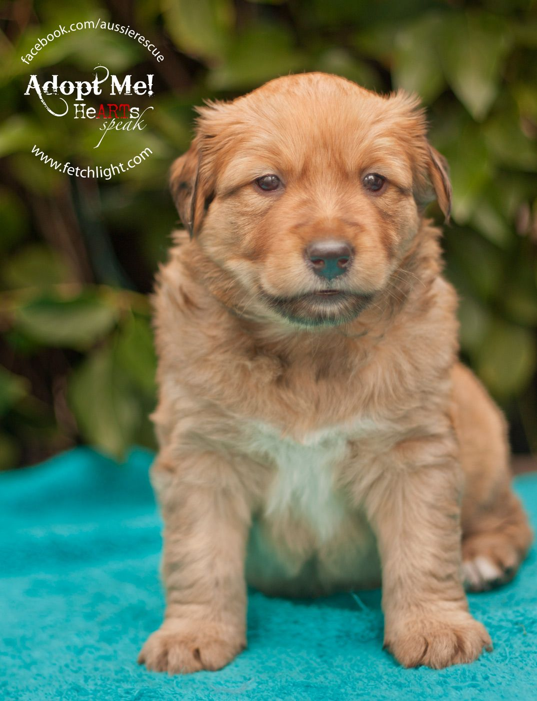 Tank is an adoptable puppy from Aussie Rescue San Diego