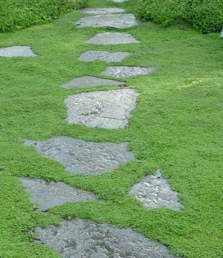 Sternmoos Als Alternative Zu Rasen Bodendecker