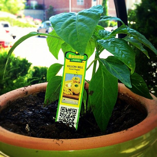 My Bonnie Plants Yellow Bell Pepper Plant Growing 400 x 300
