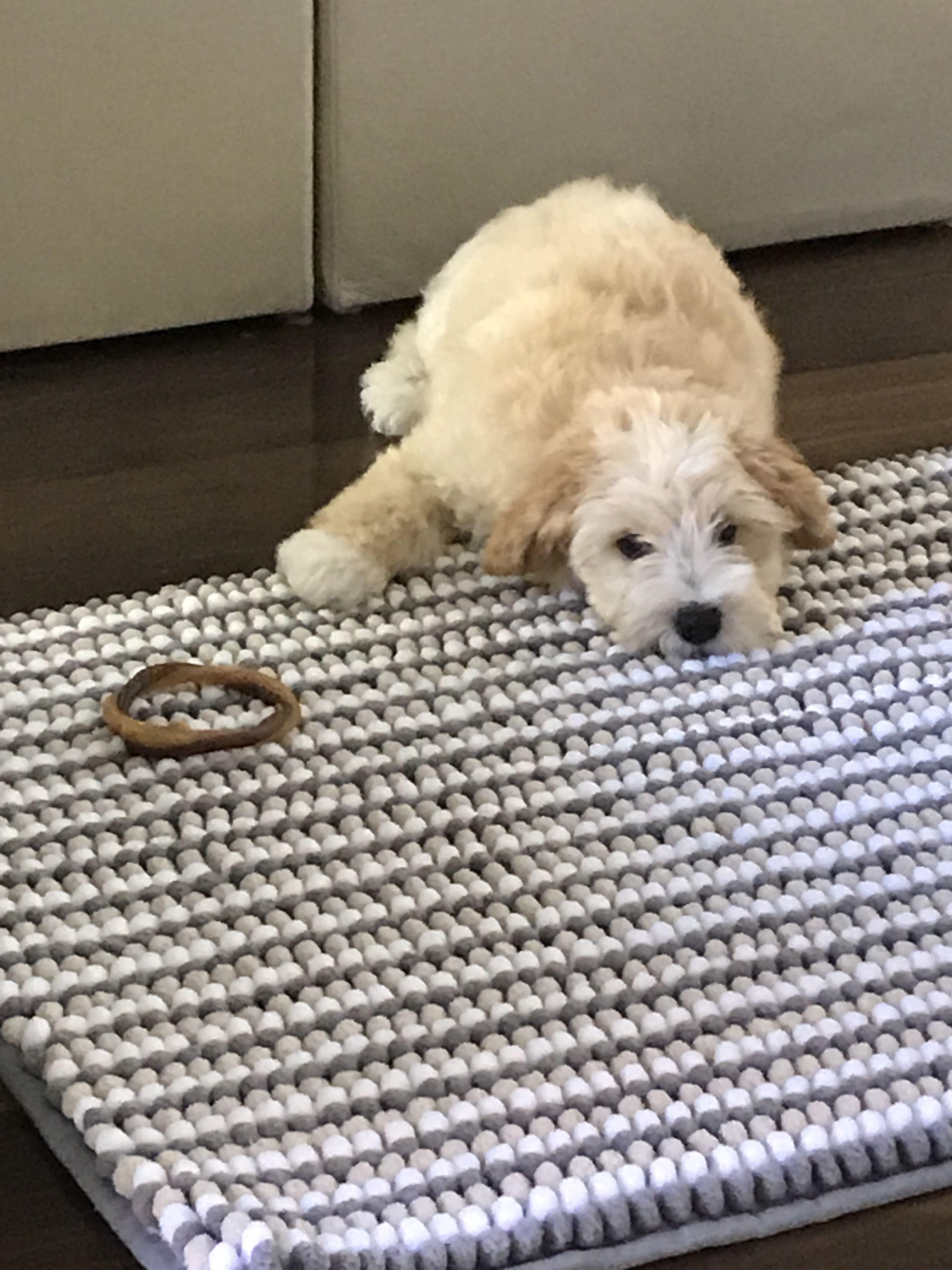 minigoldendoodlepuppy Mini goldendoodle puppies