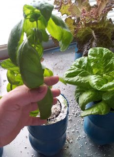 Fire Blossom Farm Kratky Method You Can Grow A Head Of Lettuce