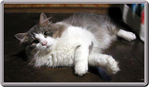 B Grey And White B B Norwegian B B Forest B Cat