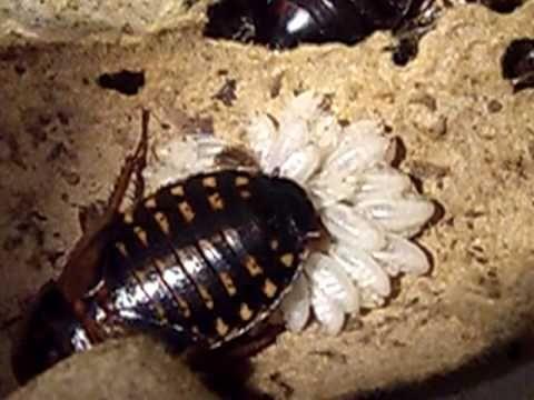 Blaptica Dubia Roach Giving Birth Afspeellijst Dubia Roaches Roaches Breeds