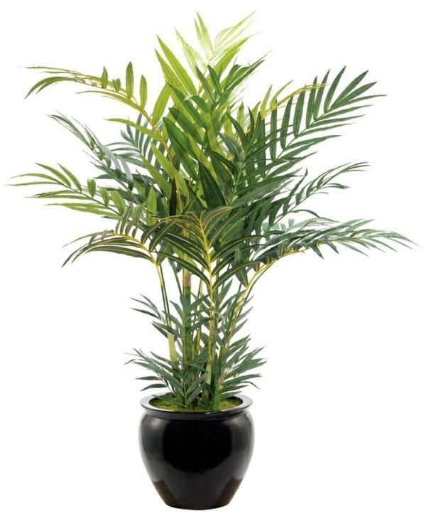 518fe295656a32cddcf5cb6235657ab0 Palm Tree Types Of Houseplants on types of indoor palms, types of bamboo houseplants, common palm houseplants, types of trees in florida, types of lily houseplants,