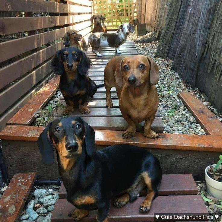 Dachshund Puppies Weenie Dogs Dog Love