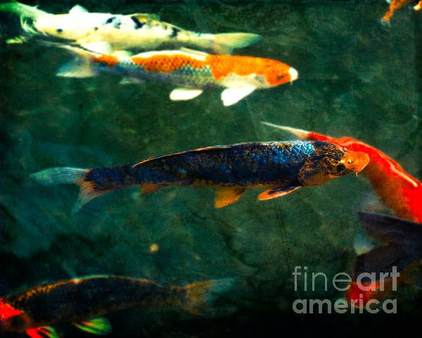 modern nature print koi fish on a sunny day photo by sonja quintero fine art america prints. Black Bedroom Furniture Sets. Home Design Ideas
