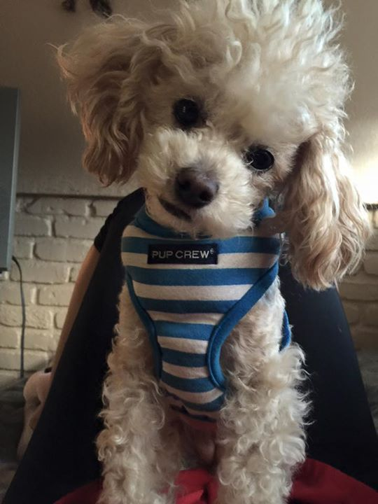 Thank You Philip For Sharing With The Poodle Patch Community Mit Bildern Zwergpudel Pudel Haarschnitt Pudel