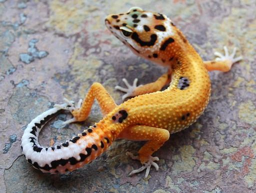 pretty leopard gecko - Google Search