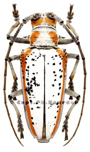 Rosenbergia gilmouri - Coleoptera-Atlas.com