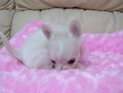 Baby Tri Color Teacup Chihuahua Puppies Topeka 29395014 M5x Eu