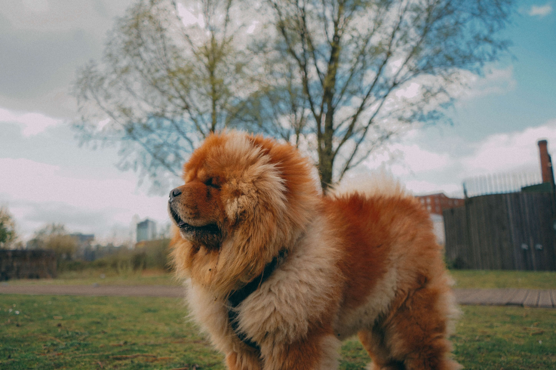 The Chow Chow Protective Teddy Bear Dog Chow Chow Breed