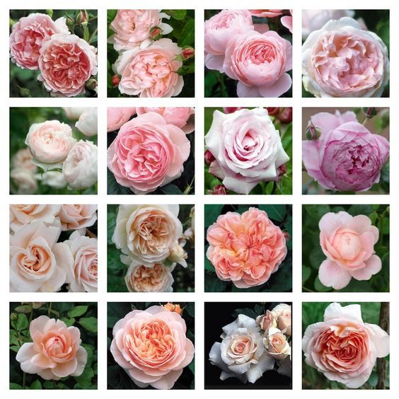 David Austin Roses In An English Country Garden