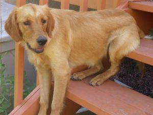 Adopt Goldilocks On Dogs Golden Retriever Dogs Animals