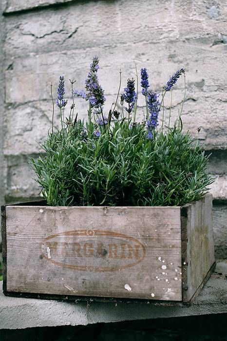 Lavender - I love to plant it EVERYWHERE!