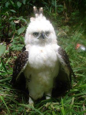 Águila Monera (Morphnus guianensis).