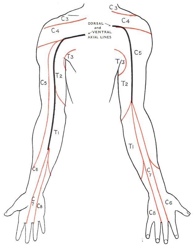 Dermatomes Myotomes