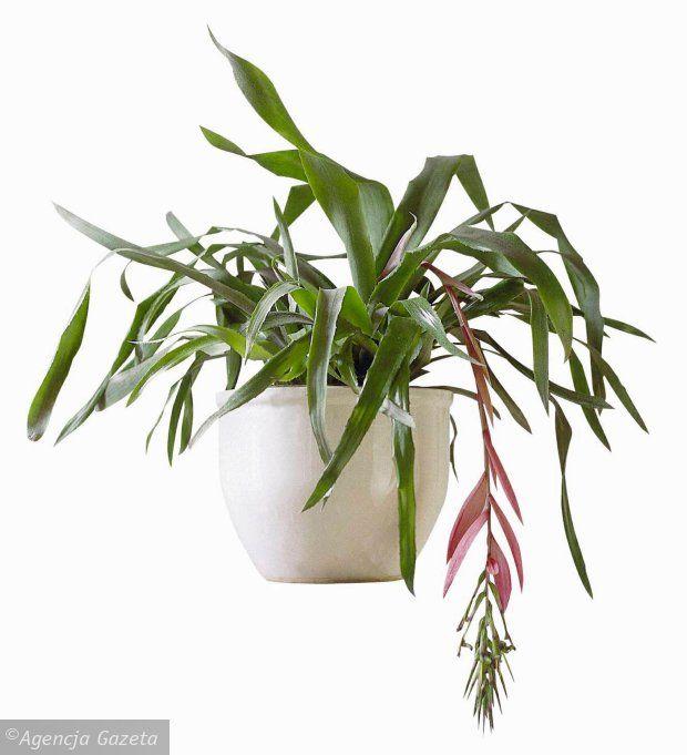 Bilbergia Zwisla Piekna Zima Indoor Plants Floral Art Plants