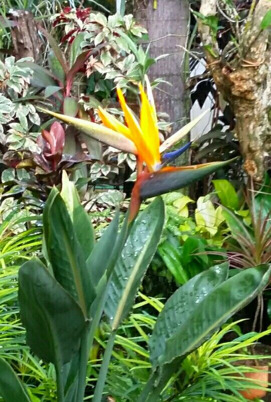 Strelitzia Reginae Bird Of Paradise Plant From Our Garden In Manila Philippines Paradise Plant Birds Of Paradise Plant Beautiful Flowers