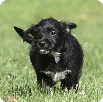 Old English Pocket Beagles Pocket Beagle Beagle Beagle Puppy