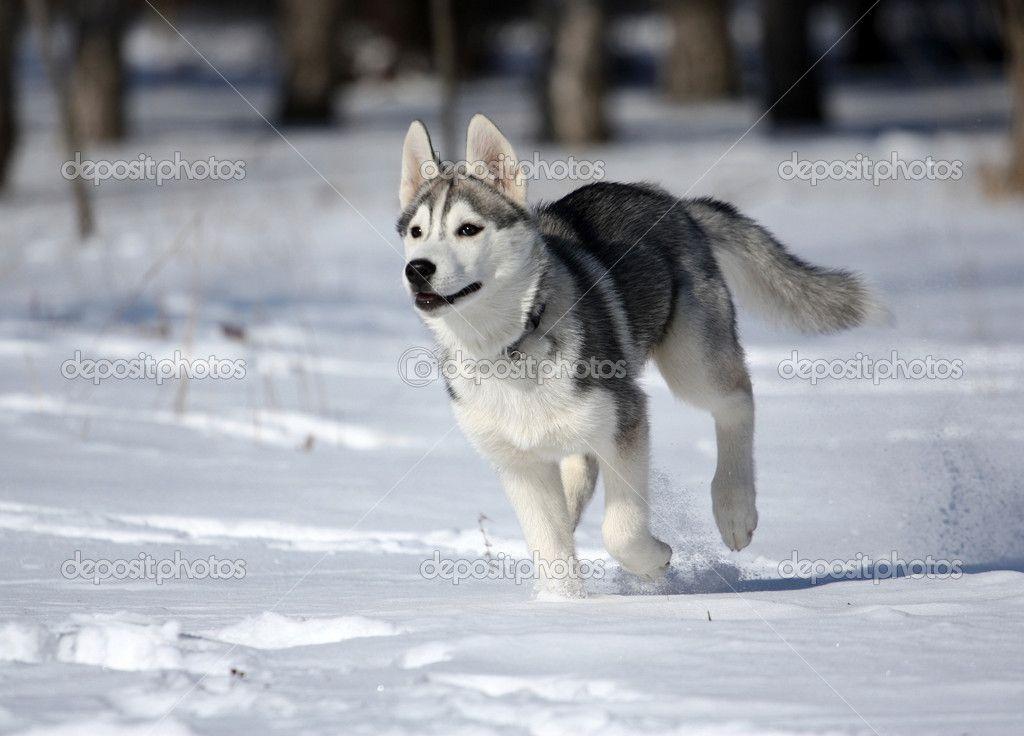 Depositphotos 2289131 Siberian Husky Jpg 1024 736 Malamute