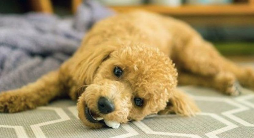 10 Interesting Facts And Information About Poodle Dog Breeds Dog