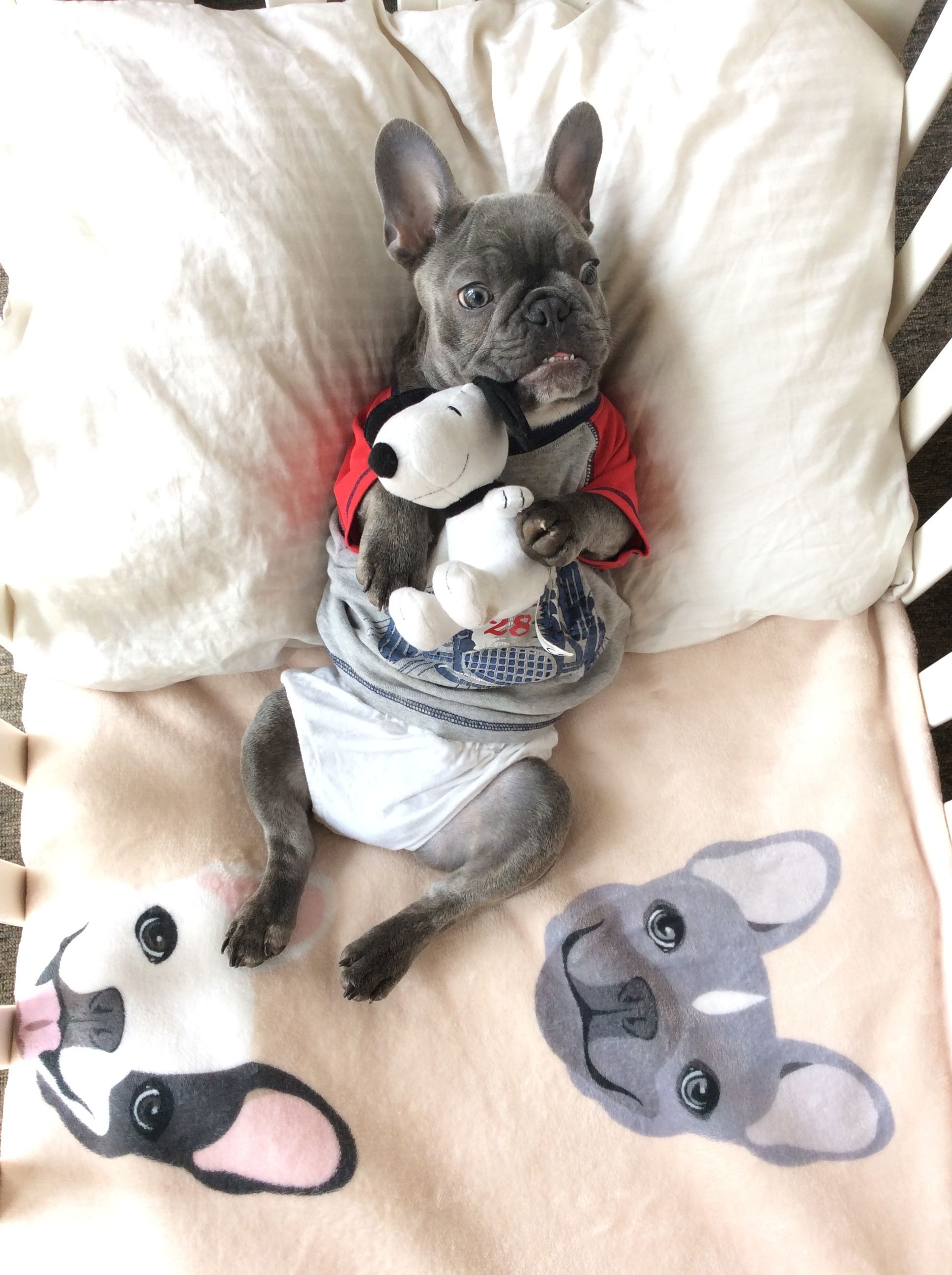 Blue French Bulldog Puppy On Bedding From The Frenchie Store Www