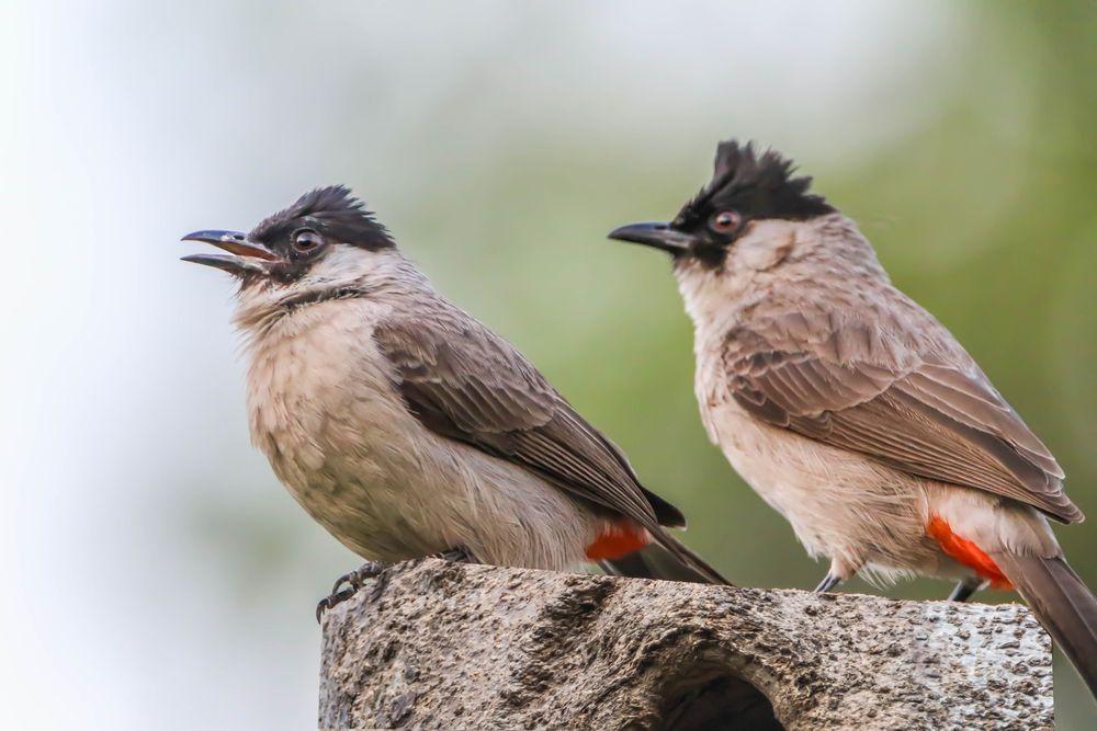 صوت البلبل اجمل انغام الطبيعة قائمة منوعة لتغريده طيور العرب Bulbul Bird Animals