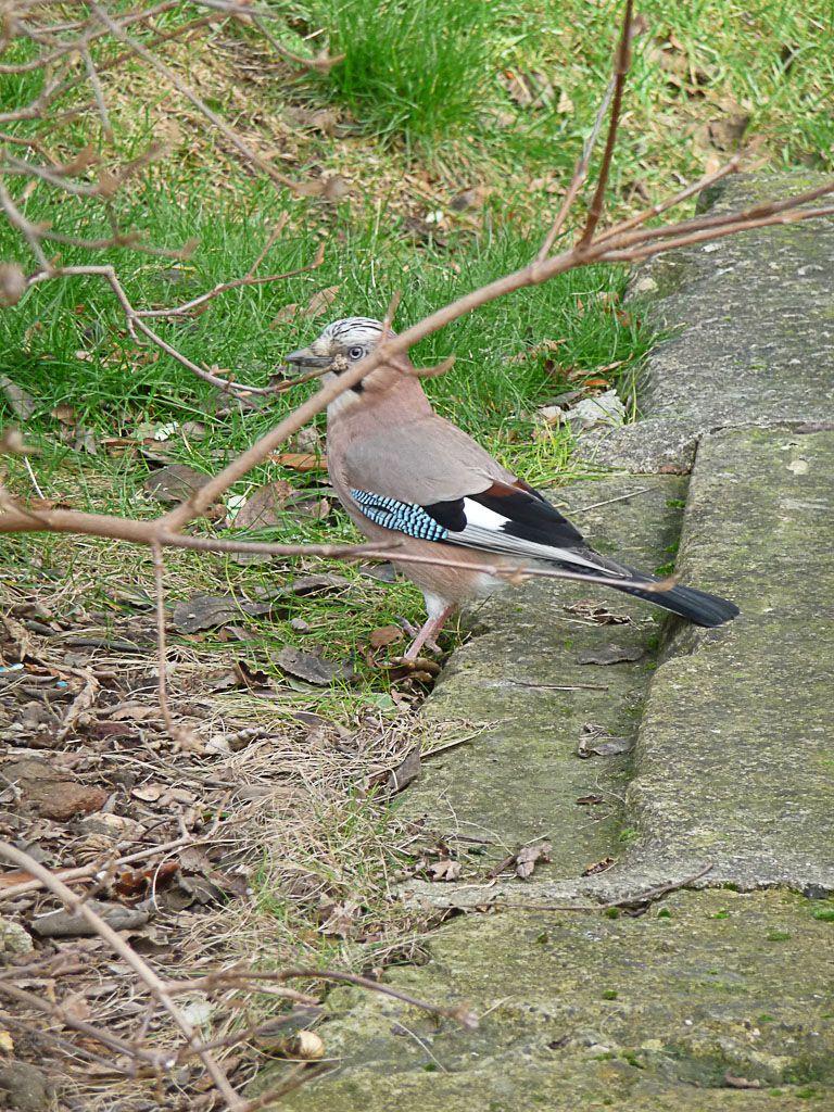 Un Geai Dans Le Parc De Bercy Paris 12e Paris Cote Jardin Oiseaux Des Jardins Oiseaux Oiseaux De France