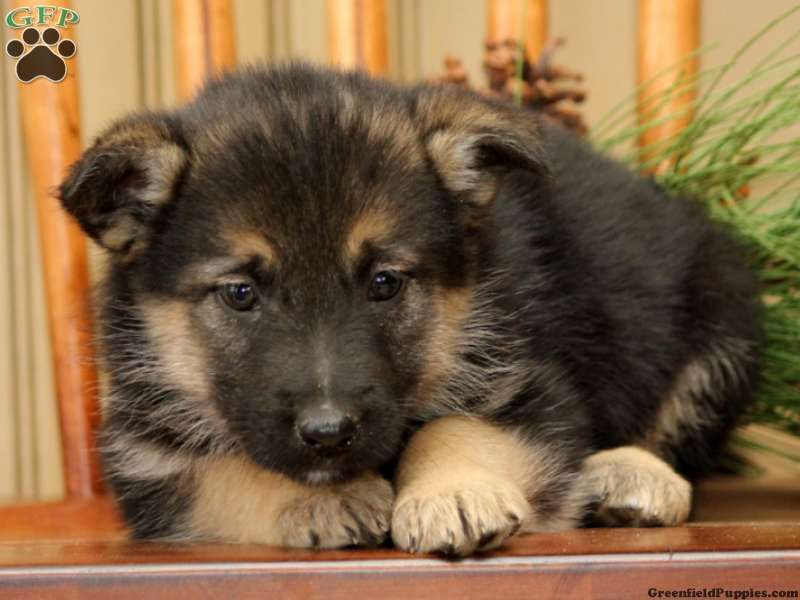 Emma German Shepherd Mix Puppy For Sale In Honey Brook Pa