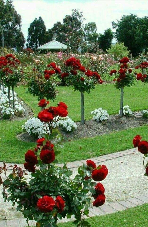 Standard rose trees New Garden Pinterest Rose trees and Gardens