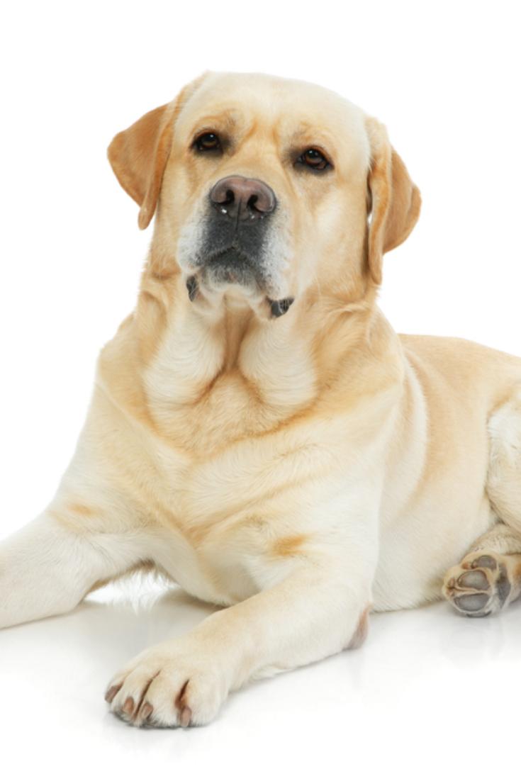 Labrador Retriever Isolated On A White Background Labradorretriever Golden Retriever Labrador Labrador Labrador Retriever