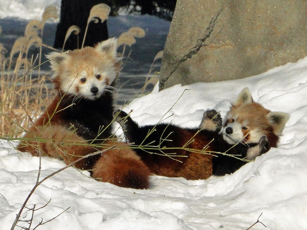 Panda cubs playing in snow - photo#7