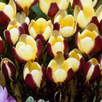 Krookus Herald - Crocus chrysanthus