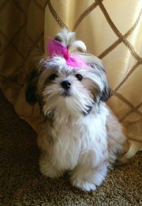 My Malshi Puppy Maltese Shih Tzu 4 Months Old Paisley