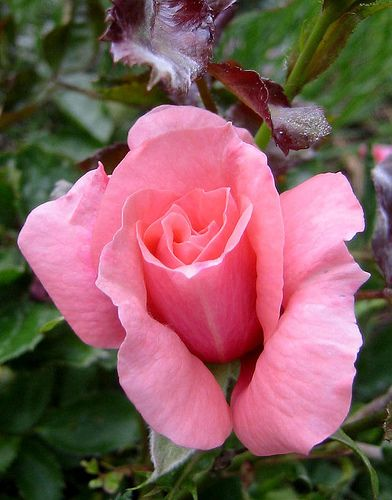 little pink rose | Flickr - Photo Sharing!