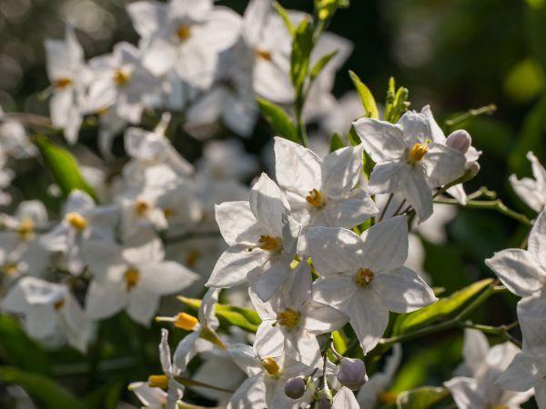 Der Sommerjasmin Solanum jasminoides - Pflege und Überwinterung | Star