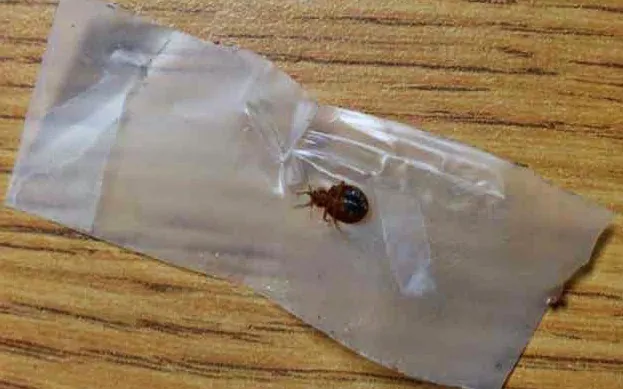 Can Bed Bugs Live in Your Car? The Ultimate Guide to Bed