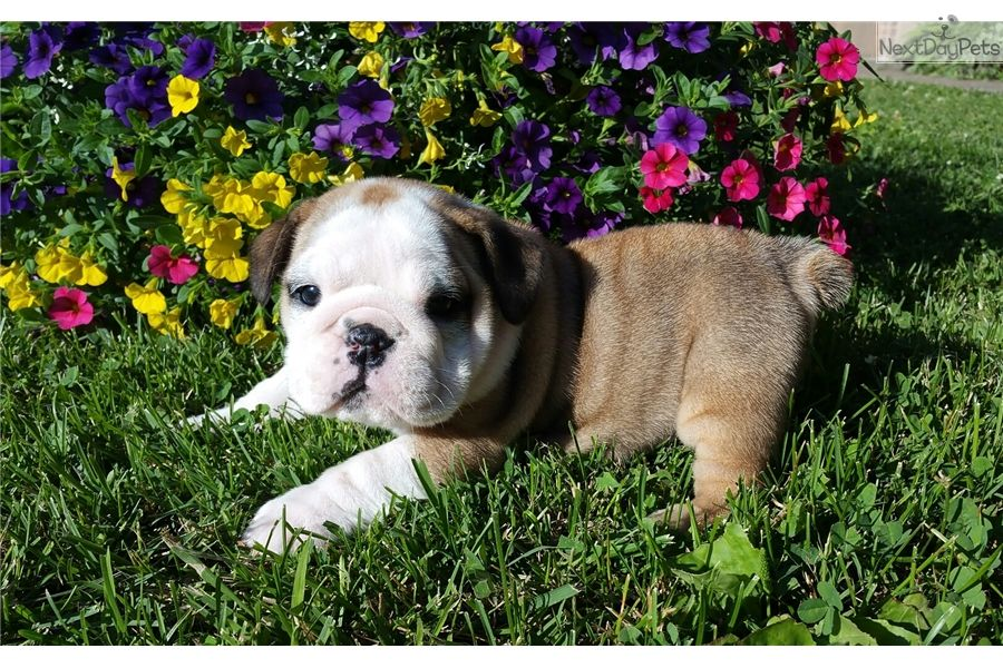 Puppy Wallpaper English Bulldog Puppy For Sale Near Springfield