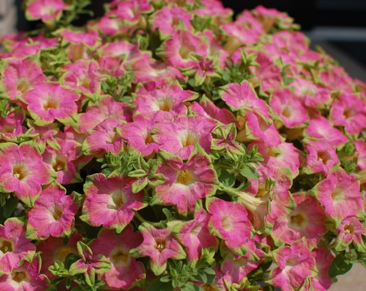 Petunia surfinia 39 green edge pink 39 plants pinterest for Surfinia inverno