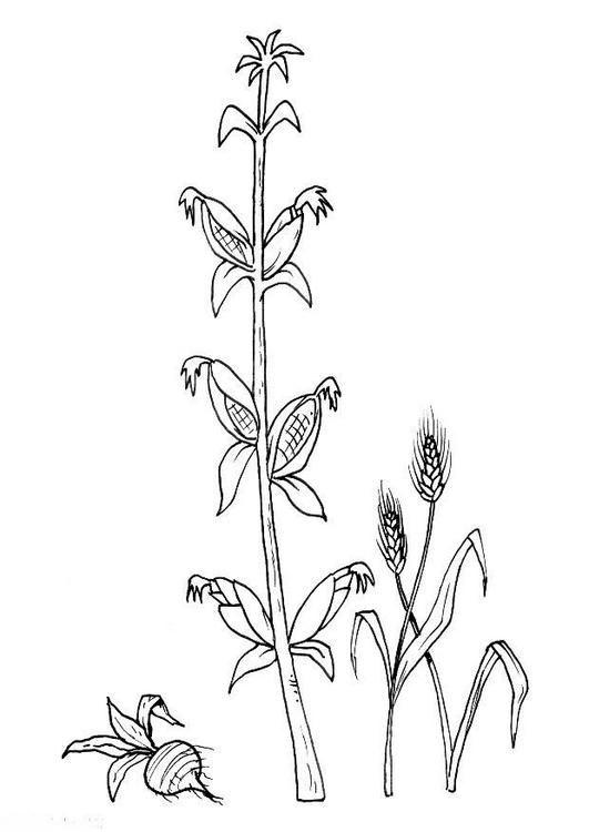 Dibujo para colorear Maiz 03 | juandelapuna | Pinterest | Dibujo