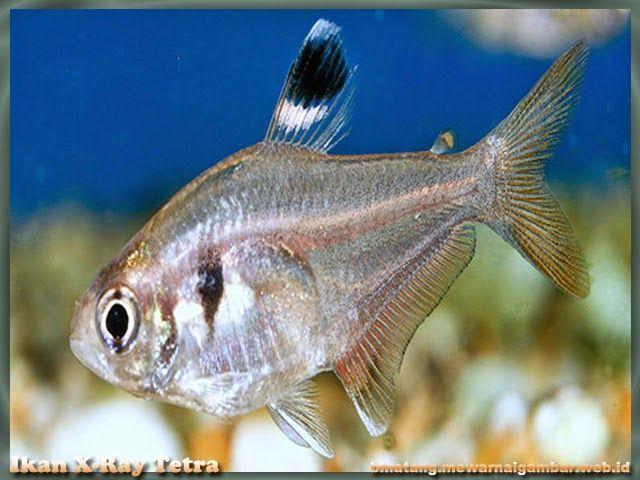 Nama Binatang Dari Huruf X Nama Gambar Binatang Binatang Gambar Ikan