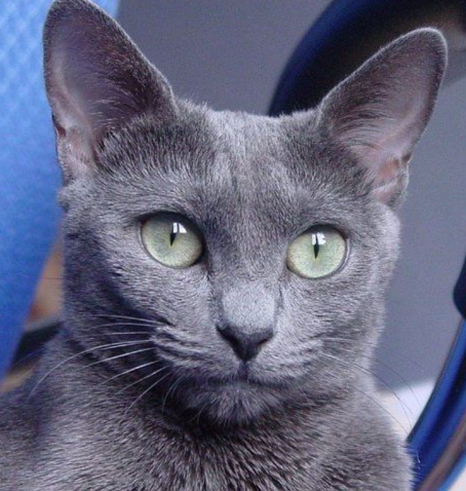 Pin by 🦇🖤 on Adorable Kittens and Cats | Russian blue