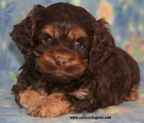 Cutest Cockapoo Poodle Mix Cockapoo Puppies