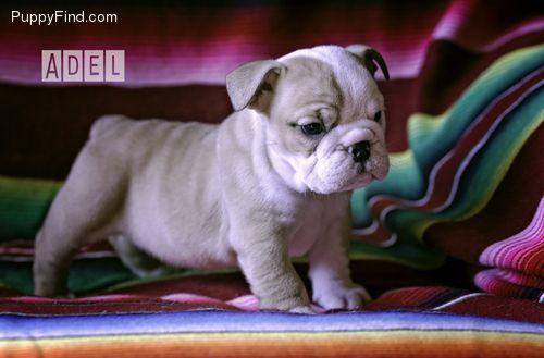 Puppyfind Com English Bulldog Puppies Bulldog Puppies For Sale English Bulldog Puppy