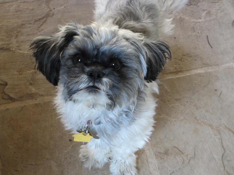 Meet Isabel A Petfinder Adoptable Shih Tzu Dog Fremont Ca