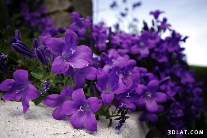 ورد بنفسجي رائع للتصميم صور ورد بنفسجي للتصميم Purple Flowers Wallpaper Purple Garden Flower Wallpaper