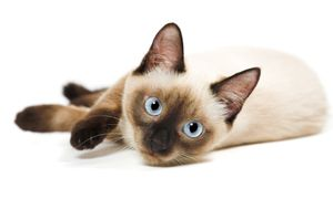 Adopt Siamese Kitties We Have Three On Cat With Blue Eyes Cat Breeds Siamese Cats