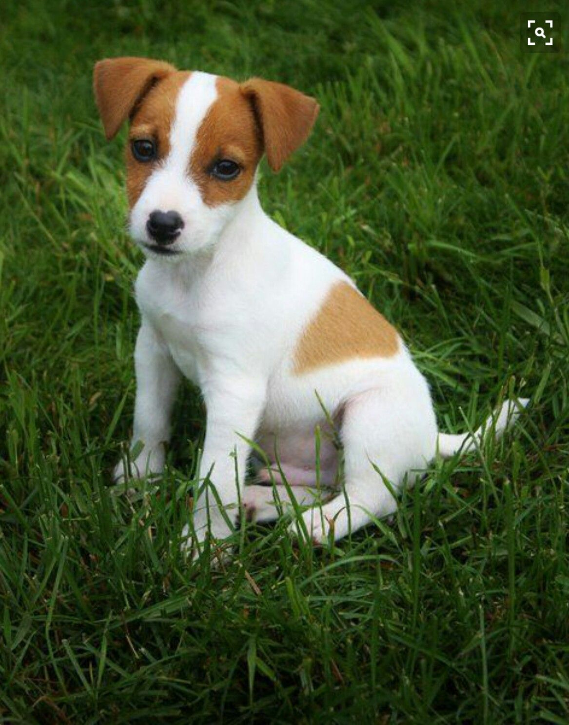 Jack Russell Jack Russell Terrier Puppies Puppy Breeds Jack