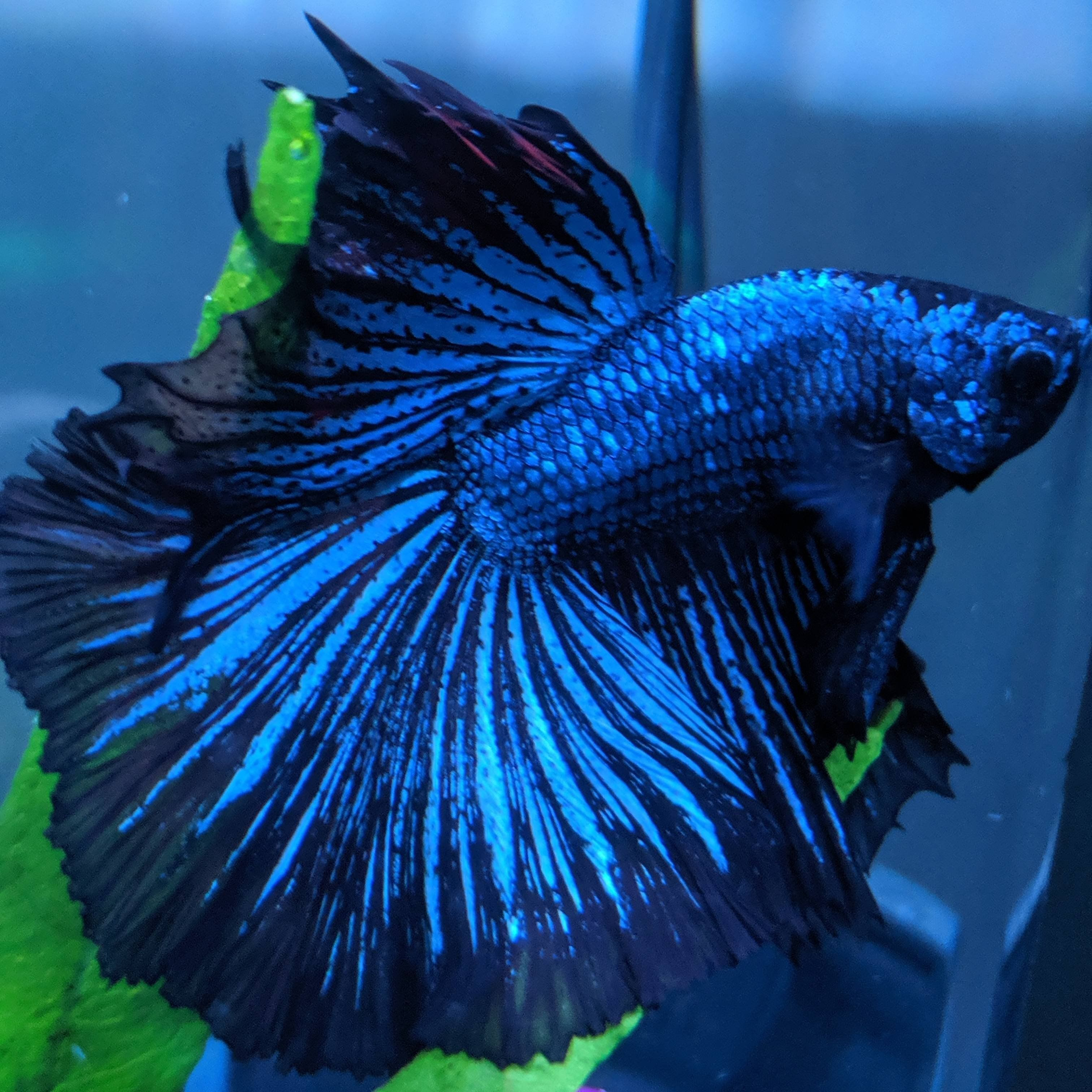 Betta Fish Just Want To Show Off Benny My Black Orchid Betta Betta Fish Betta Black Orchid